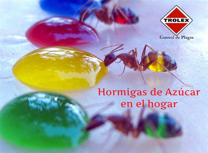 Hormigas de Azúcar en el hogar - Trolex
