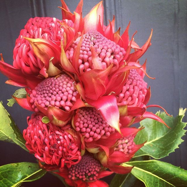 Bloodwood Botanica | Remarkable 10 headed Waratah
