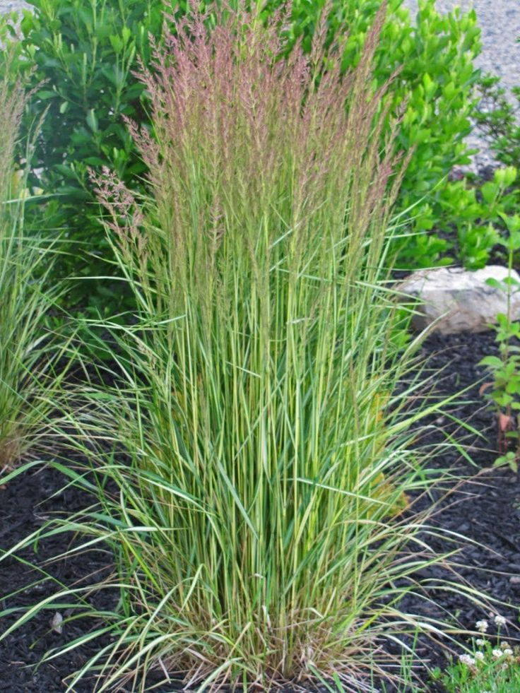 Yes, more ornamental grass talk. Deal with it. Today's topic my fellow grassophiles is Feather Reed Grass 'El Dorado': 'El Dorado' is a sport of the most famous of feather reed grasses, 'Karl Foerster' and a grass that I have placed all over my landscape. Some specifics before I proceed with my experiences with this …