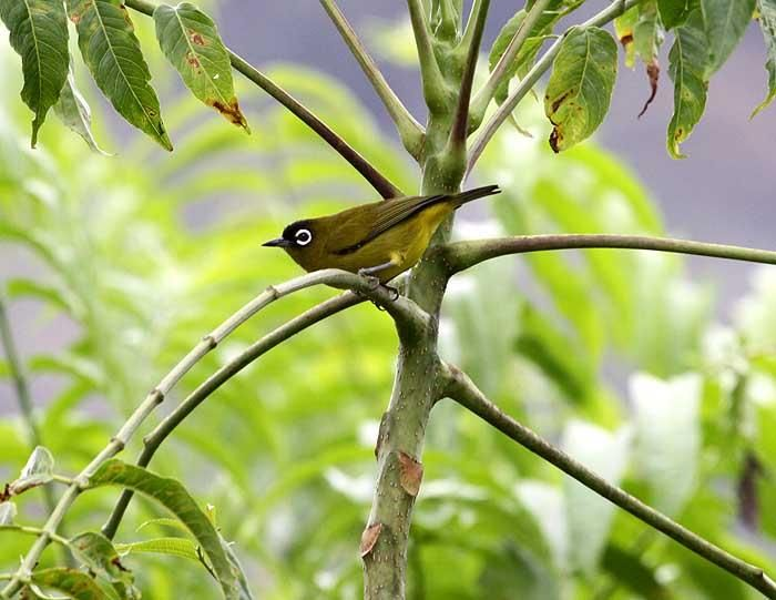 Capped White-eye (Zosterops fuscicapilla)