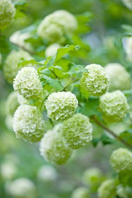 I absolutely love Viburnum (Snowball bush) and I think every garden should have one....but watch out, the aphids love them too.