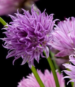 Chives Purple Flower Names