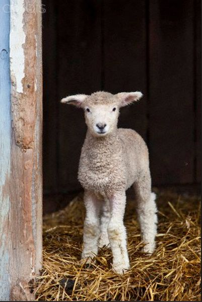 I Know Where I'm GoingBaby Lambs, Cups Brim, Baby Sheep Goats, Country Living, Children Songs, Farms Animal, Farms Life, Country Life, Fuzzy Lambs