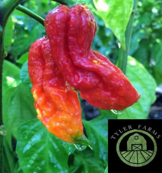 Ghost peppers ripening at Tyler Farms