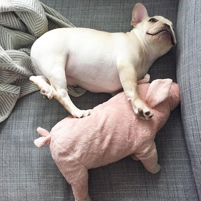 Me and my piggy buddy  French Bulldog, #frenchie