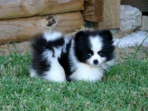 my new favorite dog breed, pomsky.  a pomeranian and siberian husky.