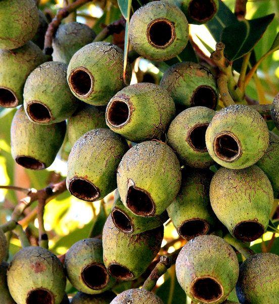 green gumnut cluster: Australian eucalypts - gum trees - seed pod clusters
