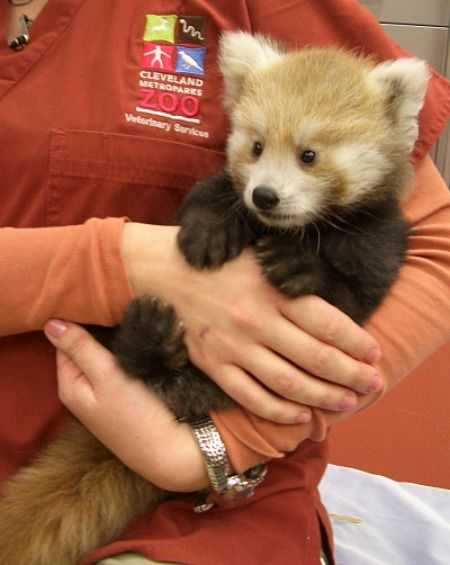 This is Mei Mei, a nine-week old red panda cub born at the Cleveland Metroparks Zoo.