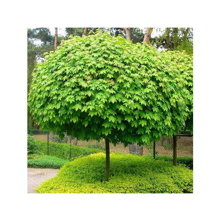 1000 images about acer platanoides paltin de c mp artar on pinterest tes 4 in and planes. Black Bedroom Furniture Sets. Home Design Ideas