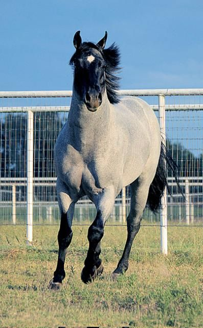 My Final Notice- Blue Roan-Riverside Ranch | AQHA World Champion and Sire