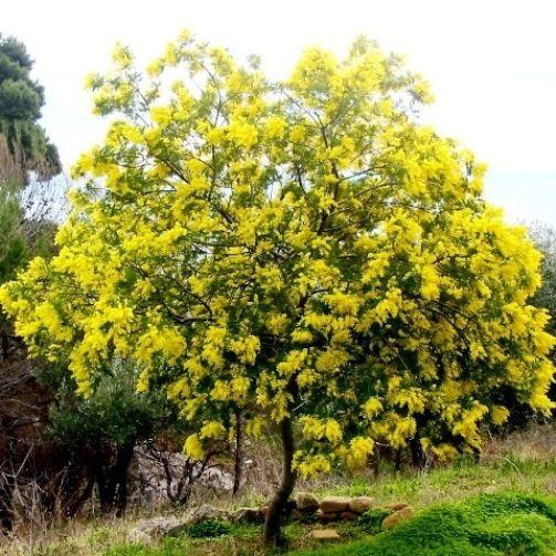 Best 25 acacia dealbata ideas on pinterest - Alberi da giardino a crescita rapida ...