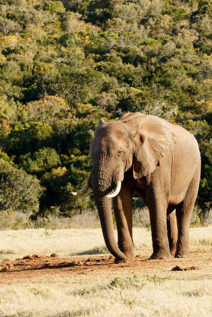 Strike a Pose - African Bush Elephant Strike a Pose - The African bush elephant is the larger of the two species of African elephant. Both it and the African forest elephant have in the past been classified as a single species.