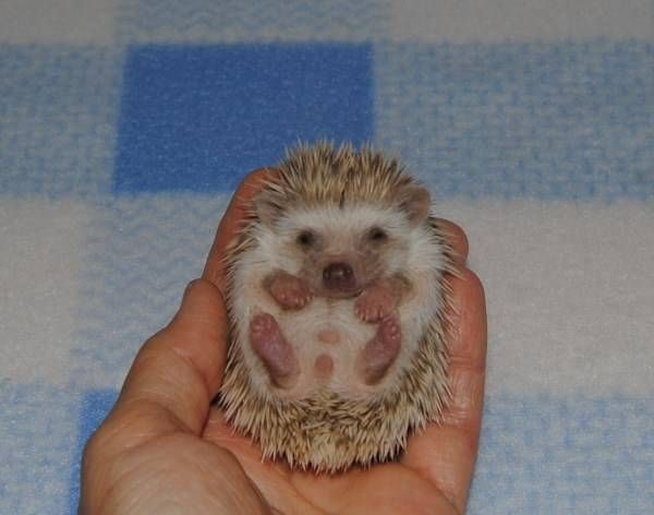 Beach Bum Hedgehogs and Sugar Gliders|Hedgehog Babies Available For Sale