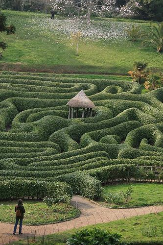 Glendurgan cherry laurel maze (Prunus lusitanica) in Cornwall, England
