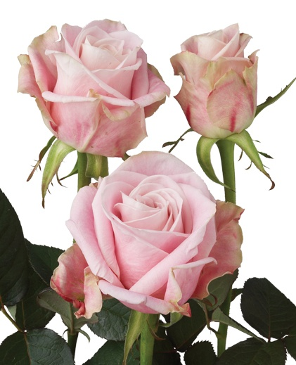 """Palais - grower description """"pale pink and lilac that lightens as the flower opens"""".  I would call it a mid pink with a slight mauve undertone."""