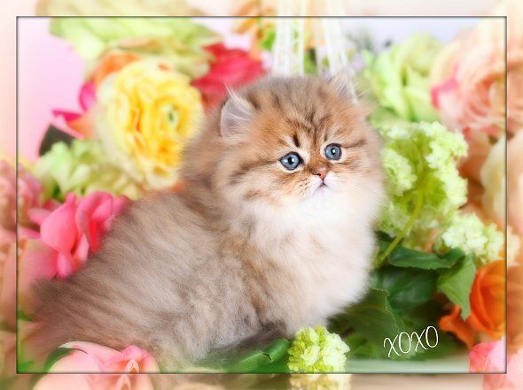 Teacup persian kittens for sale in columbus ohio