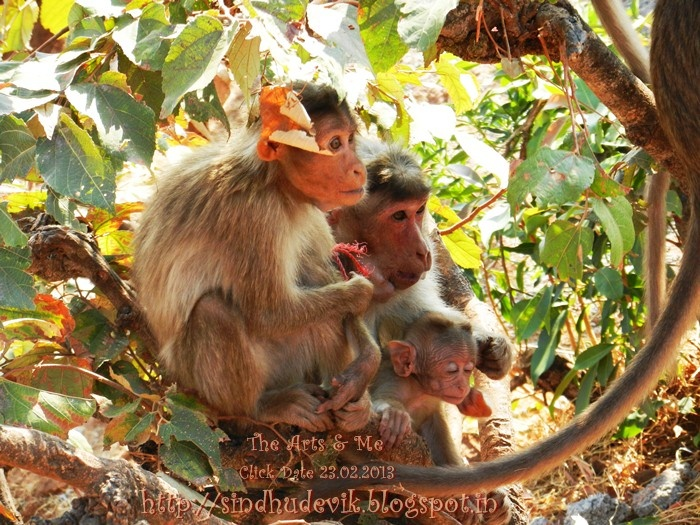 Monkey Family @ Mahabaleshwar.  Find more photos @ http://sindhudevik.blogspot.in