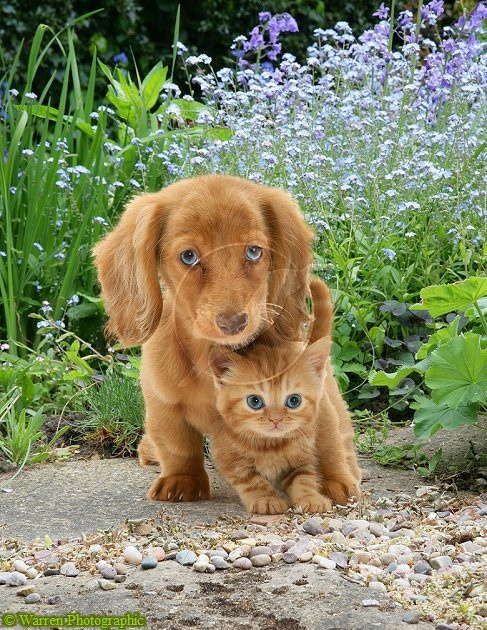 Best buds... pup n kitty