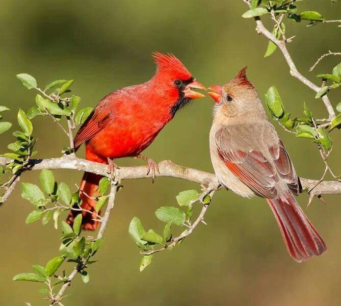 Love is in the air.  Male and female cardinals.