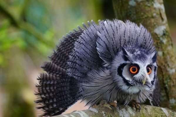 White faced Scops Owl by Mibralegare