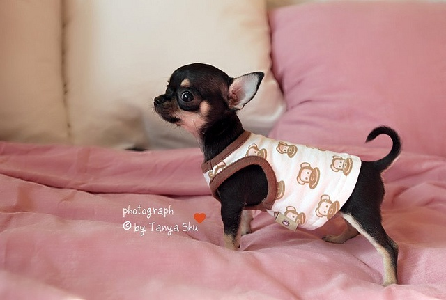 Small dog wearing a monkey clothes!  Best of both worlds! Just like my Nini!!!