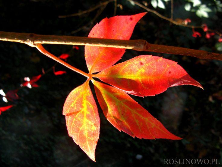 Winobluszcz pięciolistkowy (Parthenocissus quinquefolia) czerwony