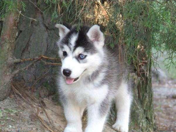 Miniature Siberian Husky | Mini Siberian Huskies