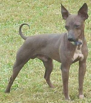 The American Hairless Terrier continues to be a uncommon breed with a restricted breeding stock.