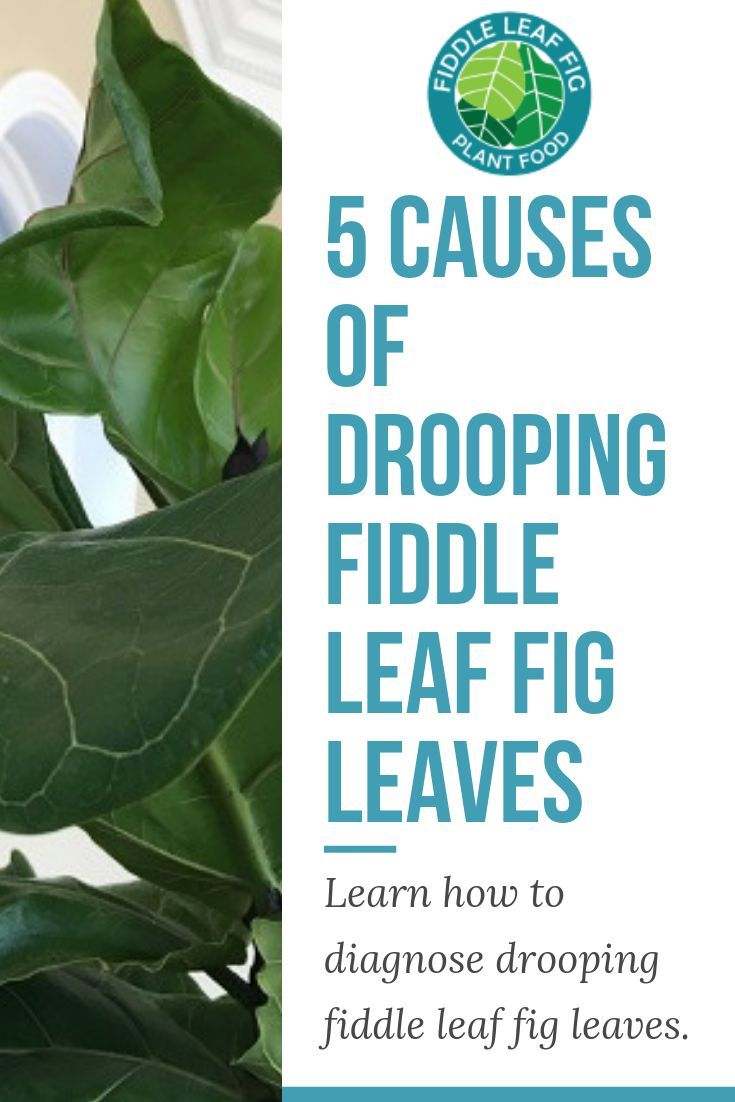 The 5 Causes Of Drooping Fiddle Leaf Fig Leaves Is The Foliage On Your Fiddle Leaf Fig Starting To D Fiddle Leaf Fig Care Fiddle Leaf Fig Fiddle Leaf Fig Tree