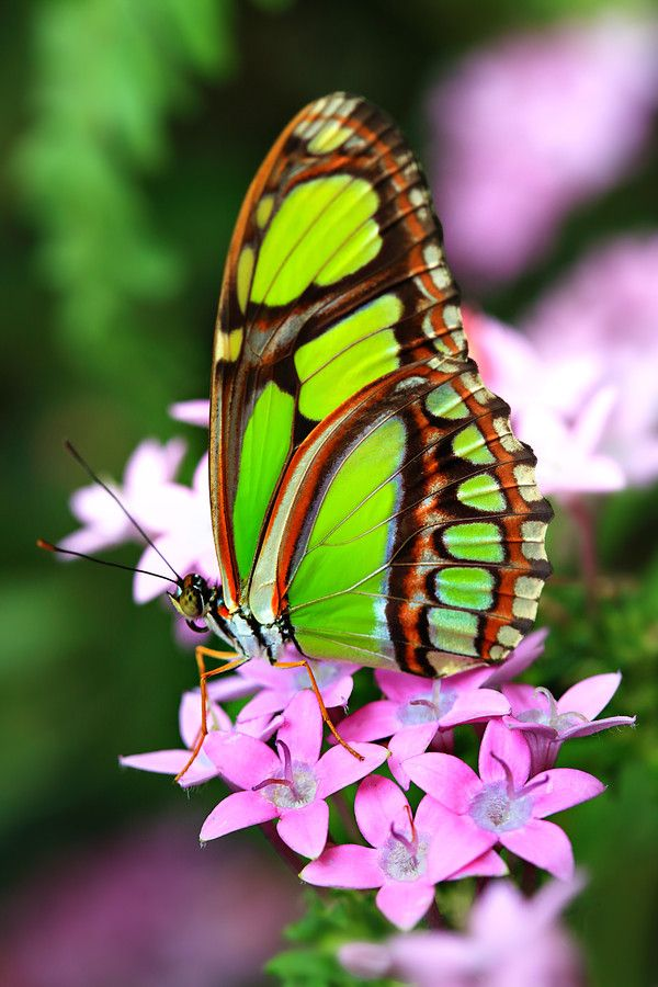 ✯ Bamboo Page or Dido Longwing (Philaethria dido) / butterflies / lime green / pink flowers Más