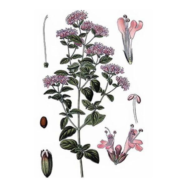 Chémotypes : carvacrol, thymol / Nom botanique : origanum compactum / Origine : Maroc / Partie distillée : plante fleurie