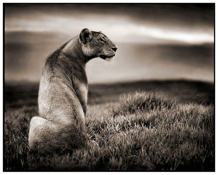 Animals Black And White Elephants 10000 Lions Big Cats: Best 25+ Nick Brandt Ideas On Pinterest