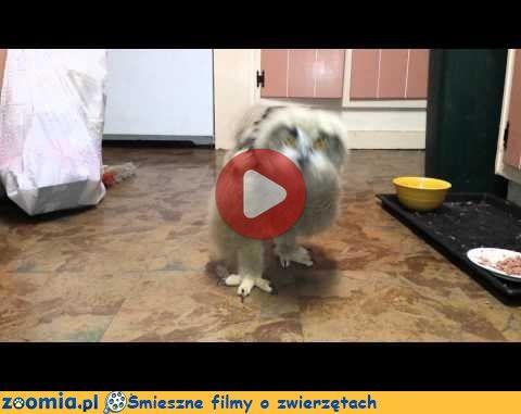 Sowie pisklę « Inne zwierzęta « Śmieszne filmy o zwierzętach - śmieszne koty, śmieszne psy. Zoomia.pl :: Zoomia pl