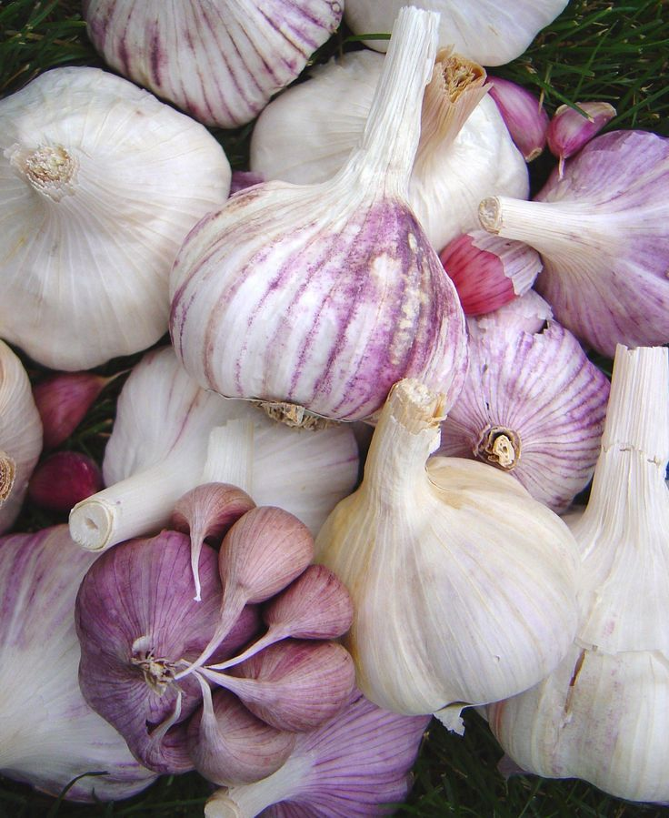 Growing garlic & Garlic Diversity * helpful article since I started garlic a few weeks ago!!