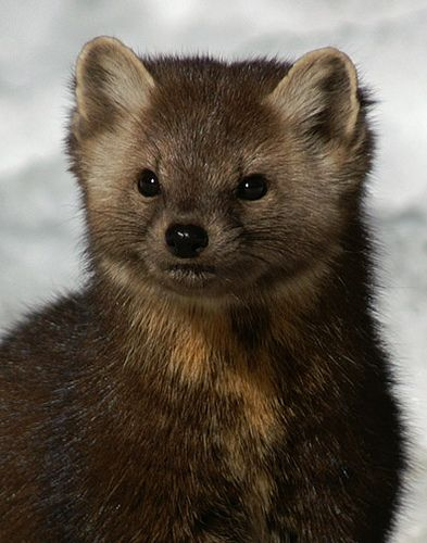 American Marten (Pine Marten) portrait by Wildlife Photography, via Flickr