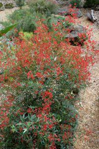 Ceratopetalum 'Johanna's Christmas' (Ceratopetalum gummiferum). Compact, only 1m high, drought tolerant, bright red bracts, Dec-Feb