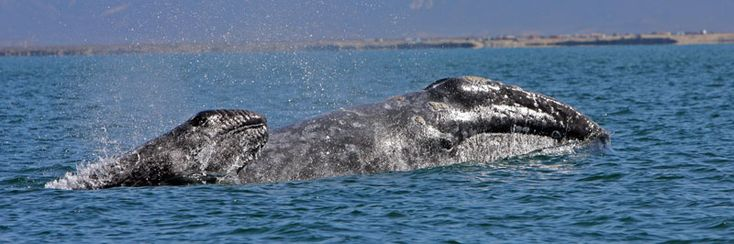 New Gray Whale Research to Begin in 2018