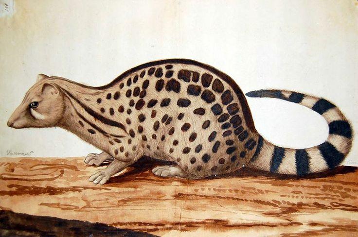 Cyweta /viverra, civet/ (Everard Kick, ok. 1660-1700, BM, SL,5261.138)