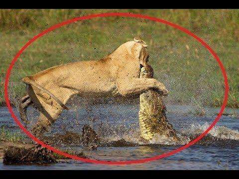 Lions Attack a Crocodile - Lion Vs Crocodile Real Fight
