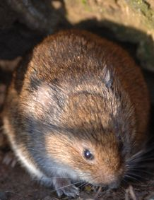 Meadow Vole - Microtus pennsylvanicus  Meadow voles make extensive runways through vegetation which provide concealment from predators when traveling at all times during the day and night. #wildohio #ohiomammals