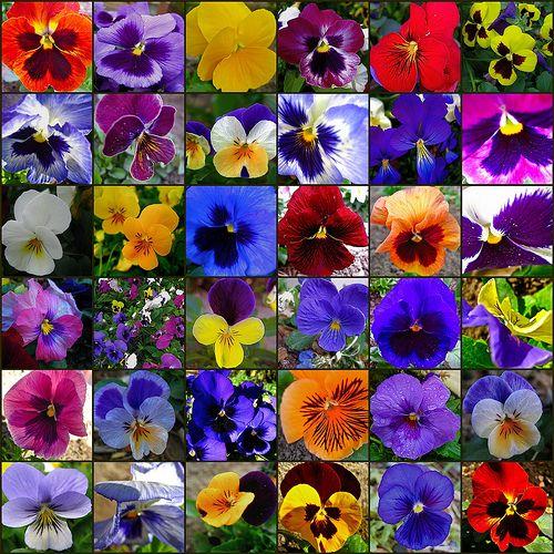 Jardim da Terra: COMO CULTIVAR: Amor Perfeito/Viola
