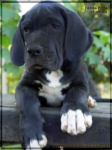 sweet faced, mantle great dane puppy ... ~ Great Danes - History