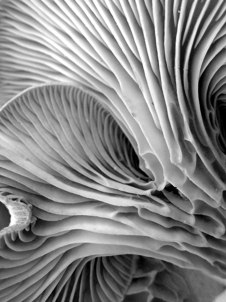 "Gills of the Oyster mushroom by Carla Wick | ""These mushrooms look remarkably like oyster shells and, in some imaginative people's opinion, even taste like oysters."""