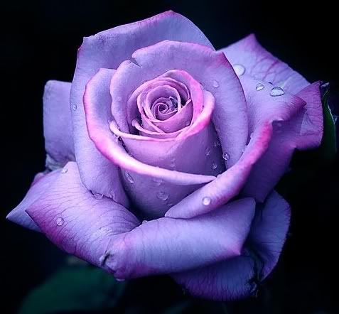 9 best deep purple roses images on pinterest purple on show me beautiful wall color id=92881