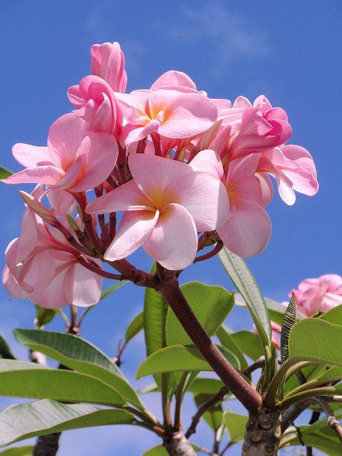 Pink Frangipani by Hawai'i Naturalist, via Flickr
