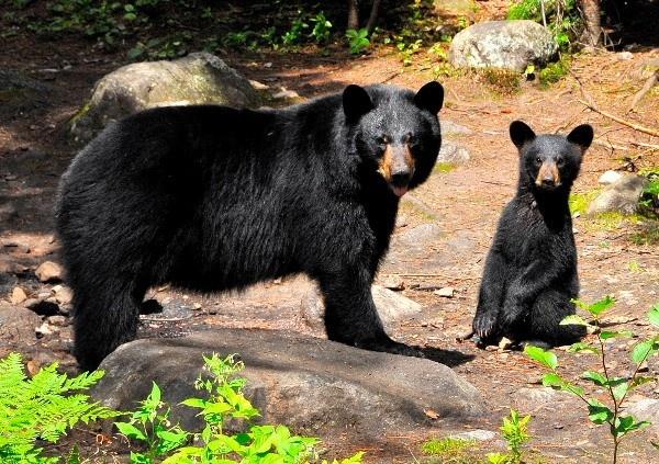 La présence d'ours près des secteurs résidentiels Québec