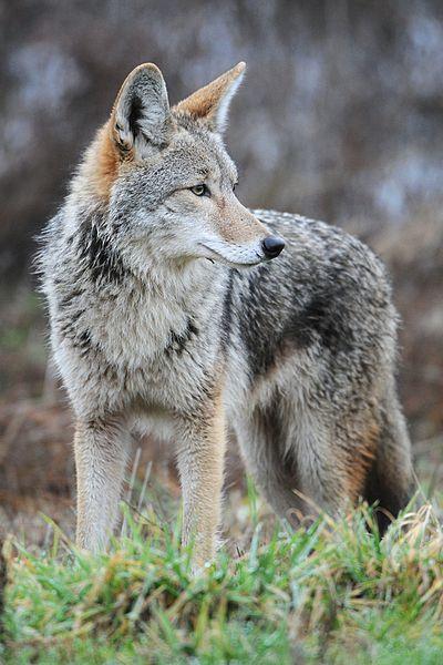 File:Coyote by Rebecca Richardson.jpg