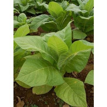 Planta de Tabaco Rubio
