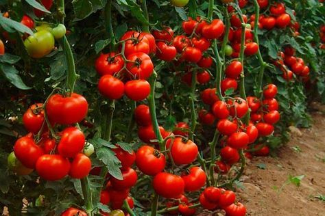 * Борная кислота: Очень нужна в дачном хозяйстве. Если загнивают плоды кабачков или цуккини, если томаты в теплице переживают стресс от жары, если не завязываются плоды у перца и баклажана, если мало завязей на огурцах, делайте раствор борной кислоты и опрыскивайте растения. Рецепт таков: 2 г борно
