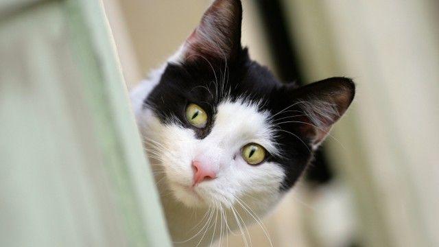 SZ-Serie: Das liebe Vieh Das Rätsel der dreifarbigen Katze